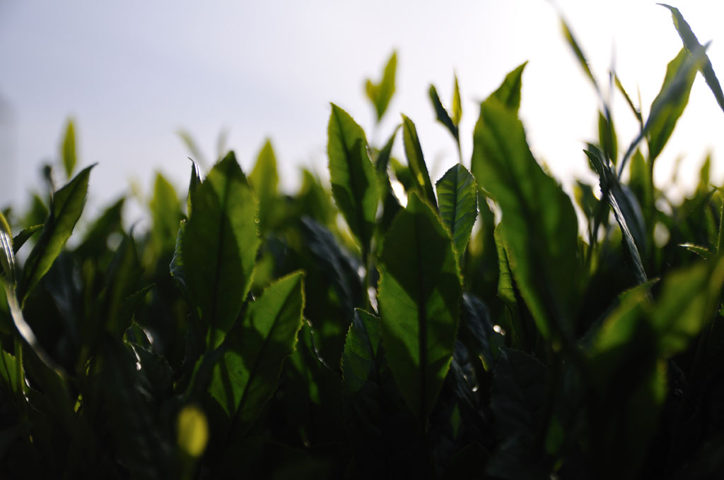 Japanese-tea-leaves-3